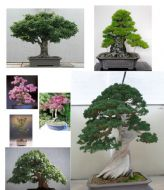 Bonsai Tree Seeds Mixed Pack-Conifers/Deciduous/Flowering-BEST BONSAI SELECTION